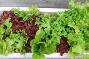 たい肥で育てた野菜が育っています